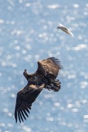 Seeadler und Dreizehenmöwe
