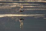 Flussseeschwalbe