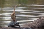 Schlangenhalsvogel